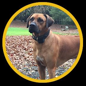 Harlem, Rhodesian Ridgeback dog