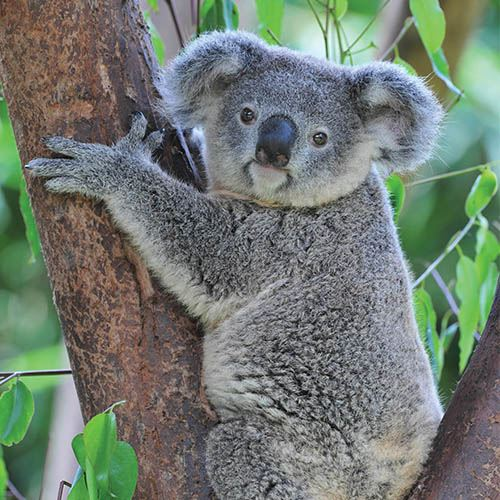 Koala Bear Hugging a tree